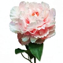 Cupped Peony - Pink